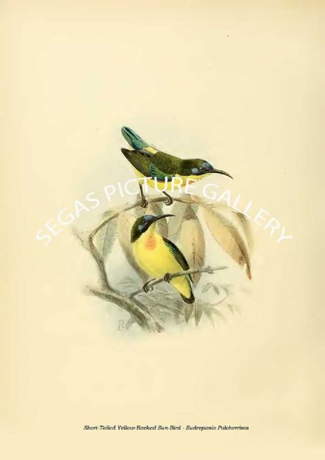 Fine art print of the Short-Tailed Yellow-Backed Sun-Bird - Eudrepanis Pulcherrima by the artist Johannes Gerardus Keulemans (1876-1880)